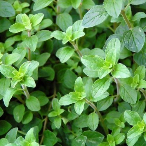 hojas de orégano fresco