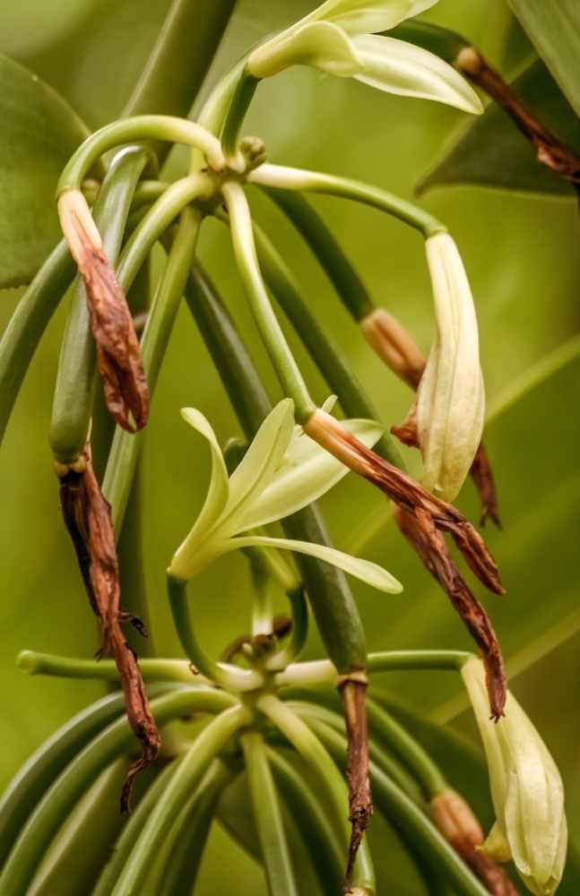 Planta y cultivo de orquieda vainilla en Madagascar