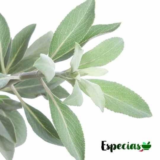 hojas de salvia blanca